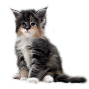 Vente chaton maine coon